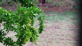 Granatapfelbaum im starken Regen und im Wind im Garten Wasser lässt Kaskade von den grünen Blättern fallen stock footage