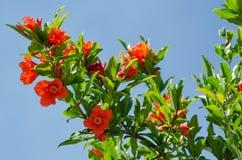 Granatapfelblüten Stockbild