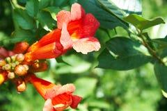 Granatapfelblume Lizenzfreies Stockfoto