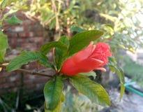 Granatapfelblume stockbild