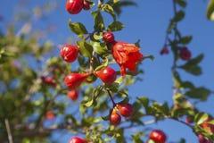 Granatapfelblume und -knospen Stockfoto