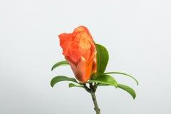 Granatapfelblumen Lizenzfreie Stockfotos