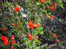 Granatapfelblumen Lizenzfreie Stockbilder