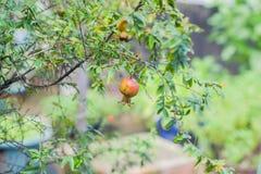 Granatapfelblumen Stockfotos