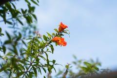 Granatapfelblumen Stockfoto