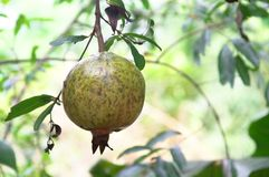 Granatapfelfrucht in Thailand Stockfotografie
