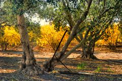 Granatapfelobstgarten im Fall und in einem Olivenhain lizenzfreies stockbild