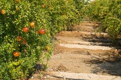 Granatapfelplantage Stockfoto