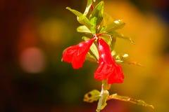 Granatowów kwiaty Fotografia Stock