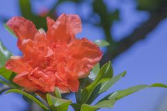 Granatowów kwiaty w pełnego kwiatu czerwonym granatowu kwitną zdjęcie royalty free