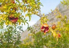 Granatowa drzewo Fotografia Royalty Free