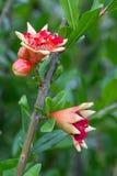Granatowa kwiat Zdjęcia Royalty Free