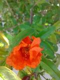 Granatowa kwiat Obraz Stock