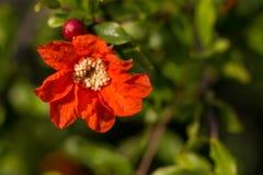 Granatowa kwiat Zdjęcie Royalty Free