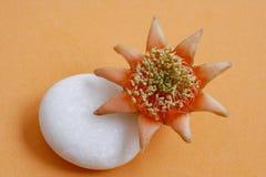 Granatowa kwiat z białym otoczakiem na orage tle Zdjęcia Royalty Free