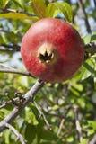 Granatowiec na drzewie Fotografia Royalty Free