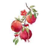 Granatowiec owoc gałąź royalty ilustracja