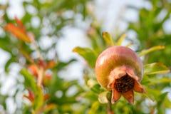 Granatowiec owoc na śniadanio-lunch, Piękny Miękki plamy tło obrazy stock