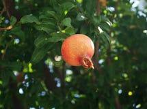 Granatowiec owoc na drzewie Fotografia Stock
