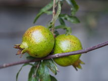 Granatowiec owoc na gałąź Fotografia Royalty Free