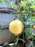 Granatum Punica Стоковые Фото