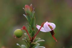 Granberry Foto de Stock Royalty Free