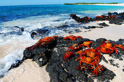 Granchi del lightfoot di battuta - Galapagos Fotografie Stock