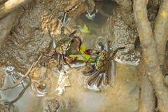 Granchi della mangrovia di Meder che mangiano foglia fotografia stock libera da diritti