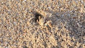 Granchi in fori sulla spiaggia archivi video