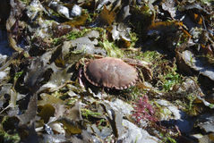 Granchio in alga sull'oceano Fotografia Stock