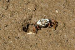 Granchio che emerge dal foro sulla riva fangosa Fotografie Stock Libere da Diritti