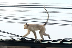 Granchio-cibo del macaco su una cima del tetto Fotografia Stock Libera da Diritti