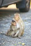 Granchio-cibo del Macaque Fotografia Stock