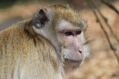 Granchio-cibo del Macaque Fotografia Stock Libera da Diritti