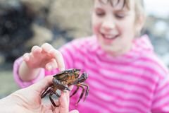 Granchio commovente della ragazza trovato in Rockpool sulla spiaggia fotografie stock