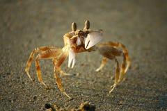 Granchio con le mani sulla spiaggia sabbiosa Fotografia Stock Libera da Diritti