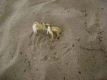 Granchio del brasiliano di Paraty Fotografia Stock