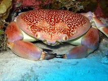 Granchio del corallo del Batwing fotografia stock