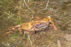 Granchio del fango in acqua fotografia stock