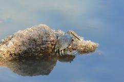 Granchio del fango (scylla serrata) Fotografie Stock Libere da Diritti
