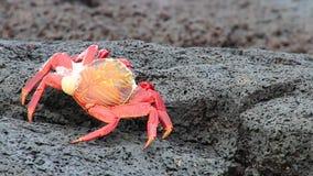 Granchio del lightfoot di battuta (grapsus grapsus) che muda parco nazionale sull'isola cinese del cappello, Galapagos, Ecuador stock footage