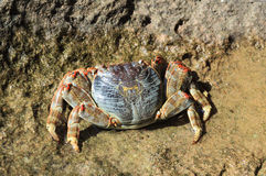 Granchio del Mar Rosso Fotografie Stock Libere da Diritti