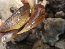 Granchio del mare Immagini Stock