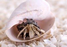 Granchio dell'eremita fotografia stock libera da diritti