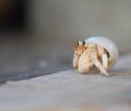 Granchio dell'eremita Immagini Stock Libere da Diritti