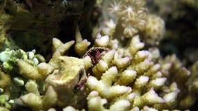 Granchio dell'eremita Fotografie Stock