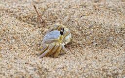 Granchio della sabbia Immagini Stock