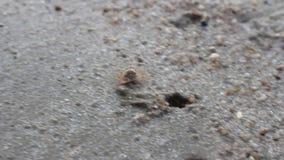 Granchio della sabbia nella spiaggia stock footage
