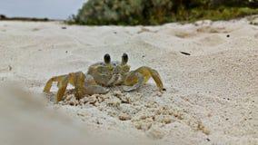 Granchio della spiaggia che cammina con le sue quattro gambe immagini stock libere da diritti