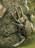 Granchio dello Sri Lanka del fango fotografie stock libere da diritti